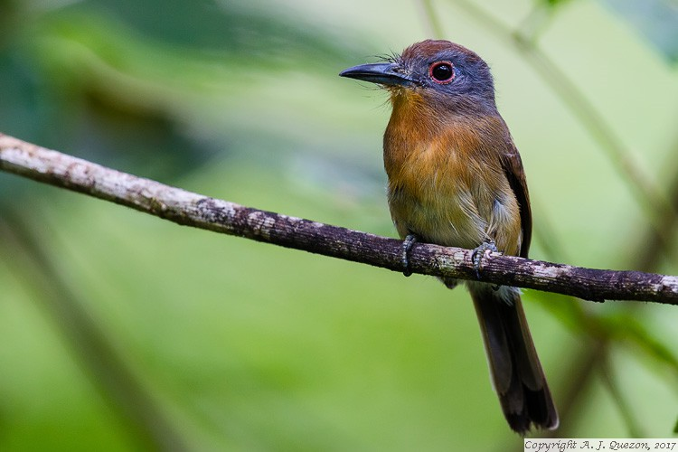 Gray-cheeked Nunlet (Nonnula frontalis)